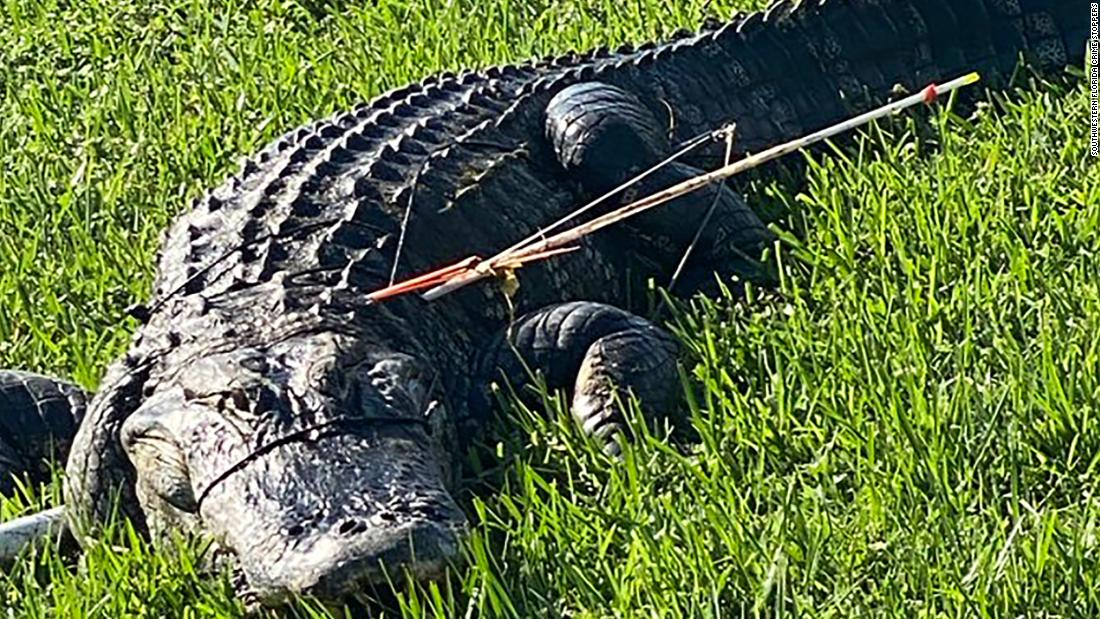 Photo of A Florida resident found an alligator impaled with two arrows in its side. Now a group of Crime Stoppers is looking for the suspect